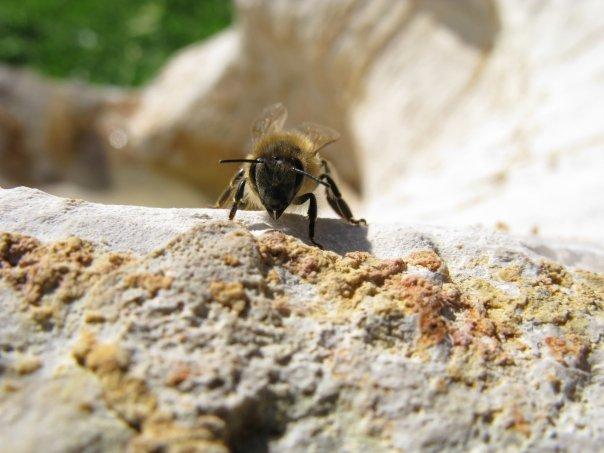 honey bee feeding in the summer