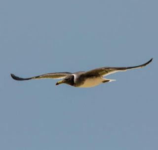 sooty gull (Larus hemprichii) flying