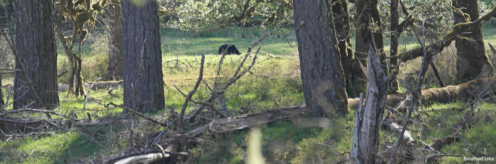 Black Bear grazing