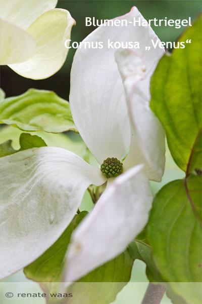 Gehölze für den Hausgarten - Cornus kousa Venus - Bepflanzung Garten
