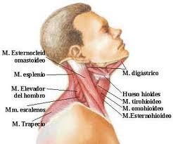 nombre musculo cuello
