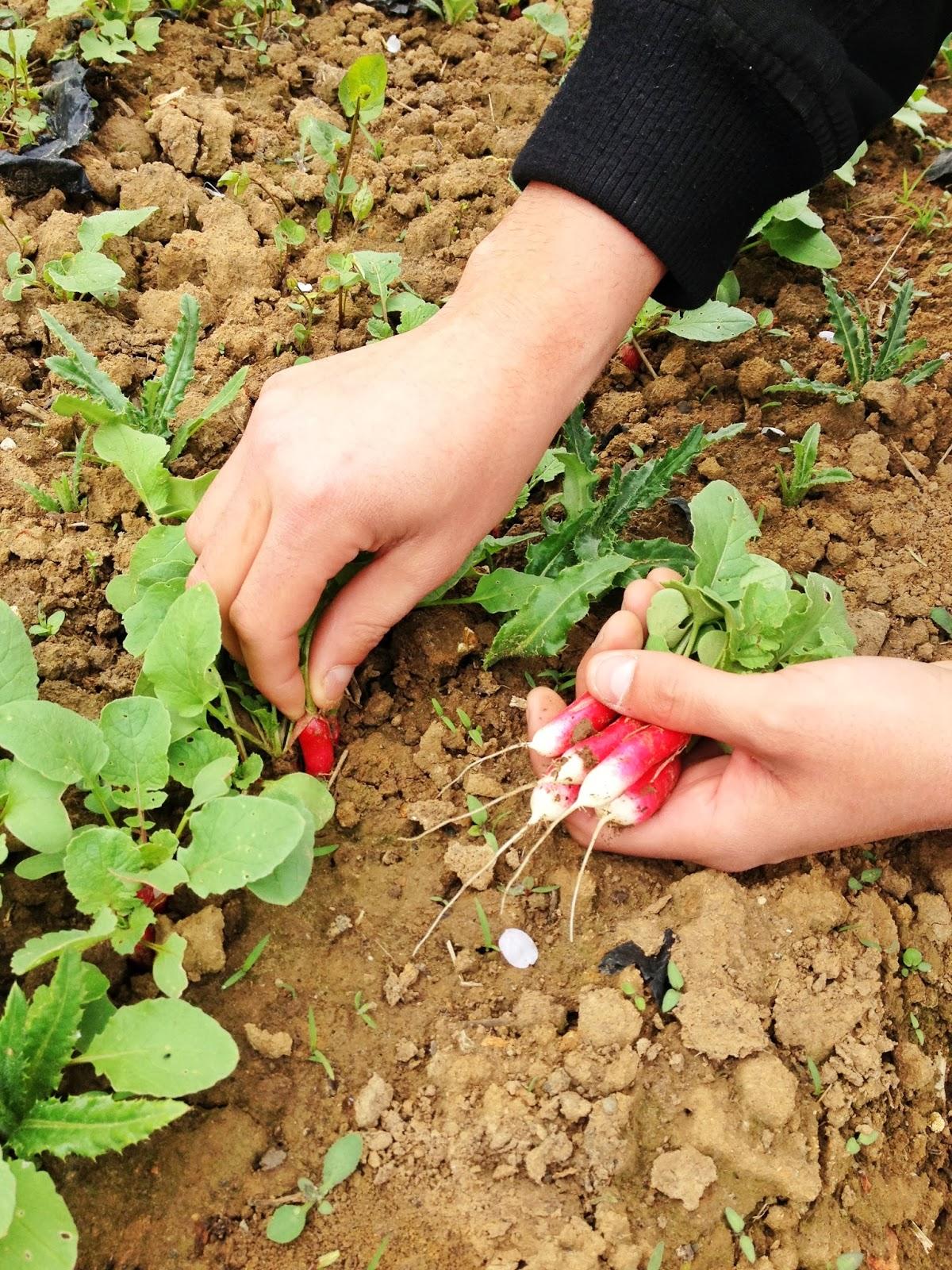 cueillette de radis, récolte de gally