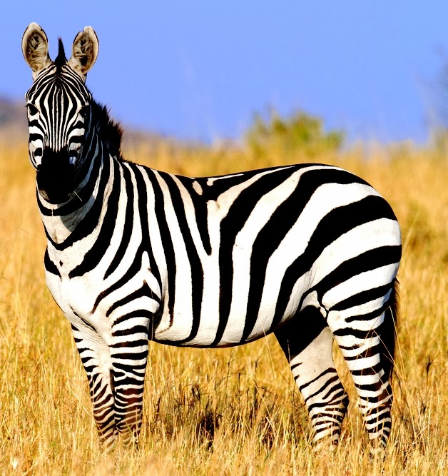 Some interesting facts about Zebras - Animal Fun Facts
