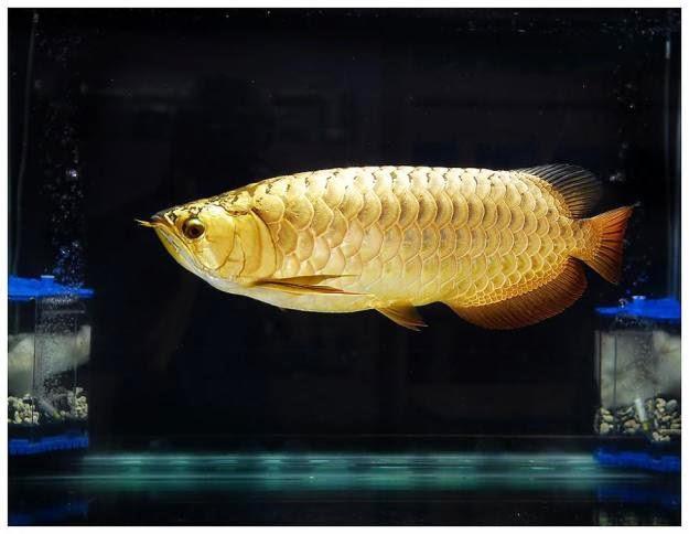 Cara dalam berbudidaya menunjukkan warta untuk teman semuanya yang sekiranya sedang me Kabar Terbaru- Jenis-Jenis Ikan Hias Arwana