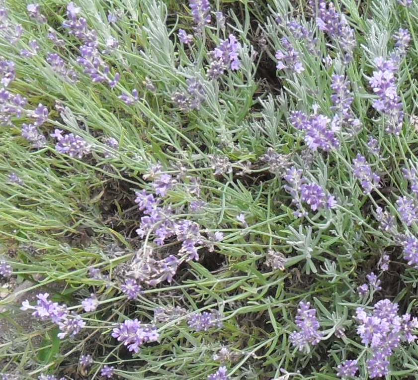 Backyard Patch Herbal Blog: Herb Of The Week