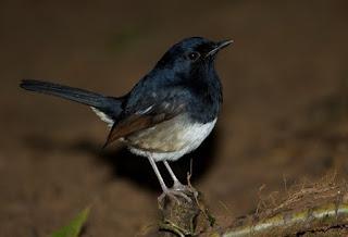 Jenis Burung Kacer Madagaskar