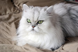 4 Nama Kucing Persia Berdasarkan Jenisnya