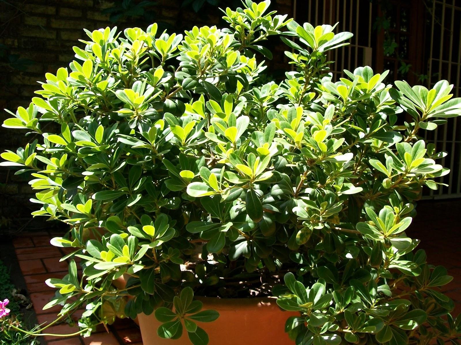 Jardines de sombra las manos en la tierra for Arboles de hoja perenne y crecimiento rapido para jardin