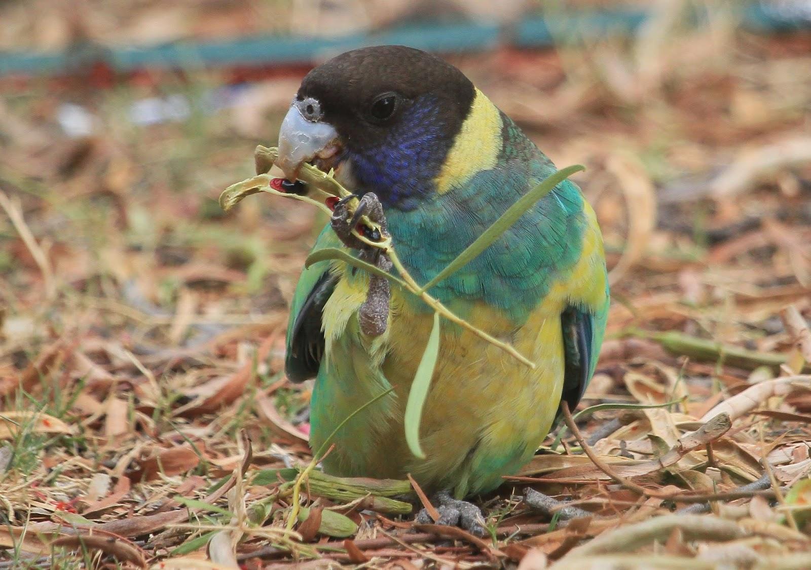 Richard Waring's Birds of Australia: Backyard visitors