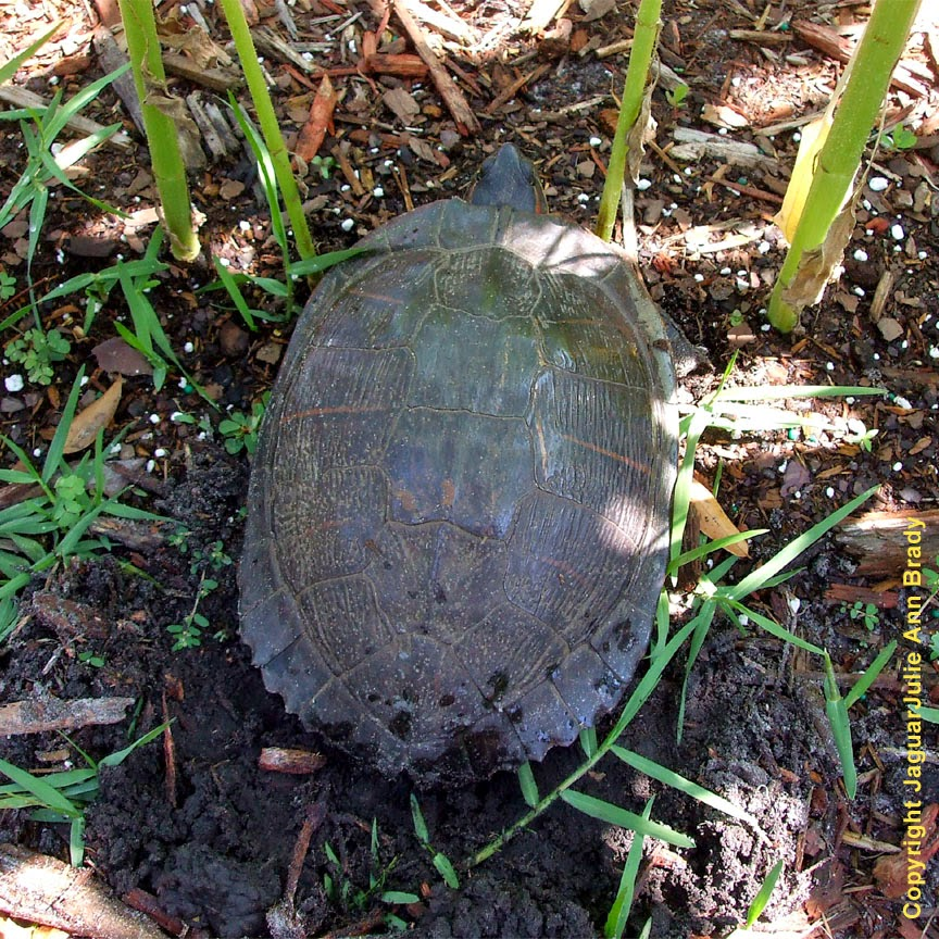 Painted Turtle in my Sunflower Garden