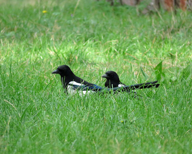 Magpies in the grass, Via Lorenzini, Livorno