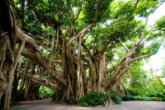 Hint incir ağacı, Bodhi ağacı