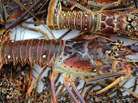 Perlu Diketahui! 6 Manfaat Lobster Bagi Kesehatan Tubuh