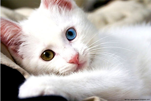 Cute White Cats with Blue Eyes