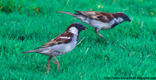 common sparrow pbel city