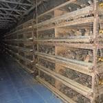 Manfaat Kotoran Burung Puyuh