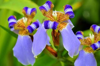Walking Iris Flowers in Puriscal