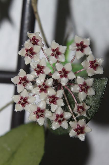 Hoya sp. Yala