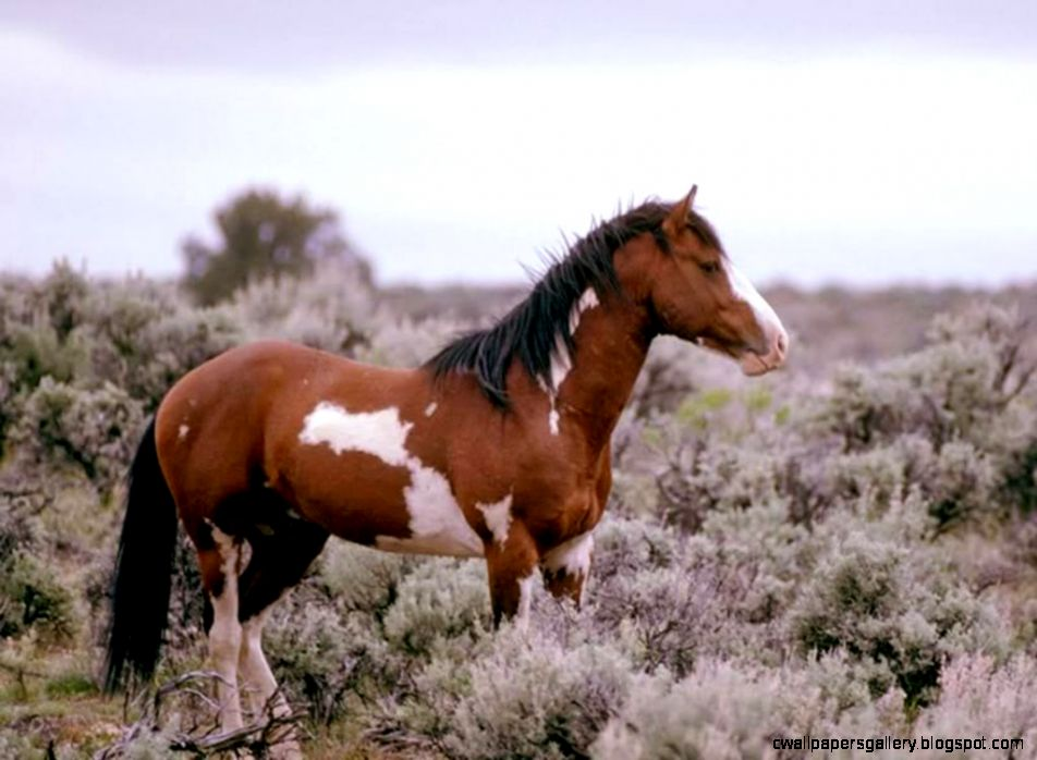 Wild Paint Horses | Wallpapers Gallery