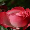 Puisi Bunga Mawar