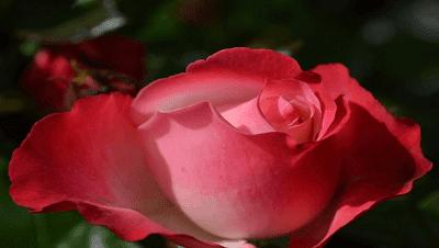 Puisi Bunga Mawar Kumpulan Puisi Cinta Dan Rindu Yang