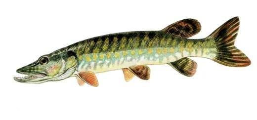 Alex Stoica - Totul despre Pescuitul la Știucă