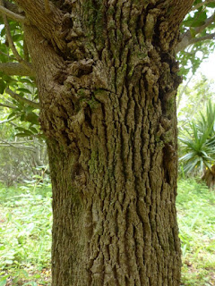 Pleurostylia pachyphloea - Bois d'olive grosse peau