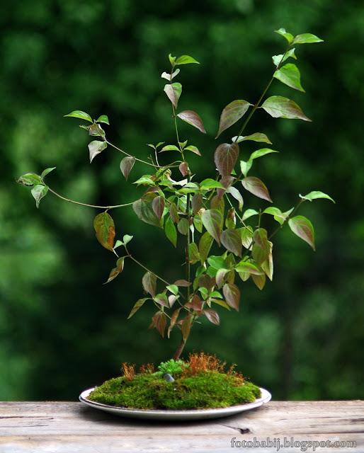http://fotobabij.blogspot.com/2015/08/bonsai-w-starym-talerzu-tb2.html