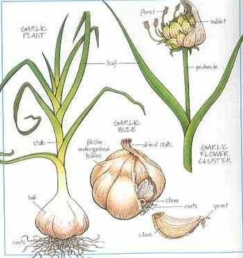 Seed To Feed Me Growing Garlic In
