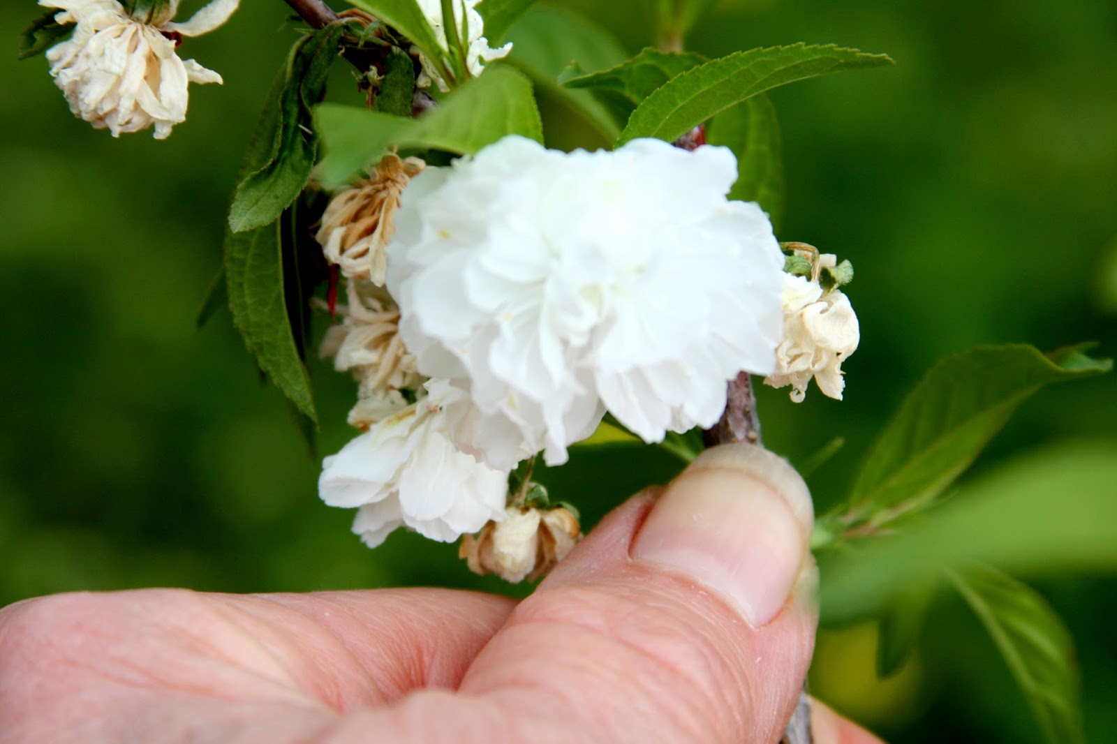 All the Dirt on Gardening Flowering Almond Shrubs are Prunus triloba and Pru