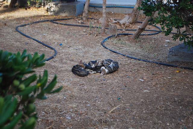 Кошка с котятами на Крите