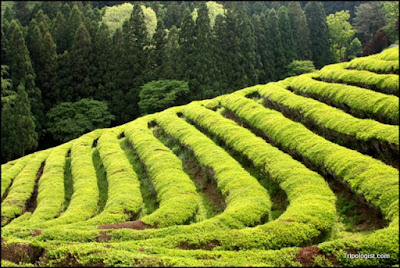 Boseong Green Tea Field