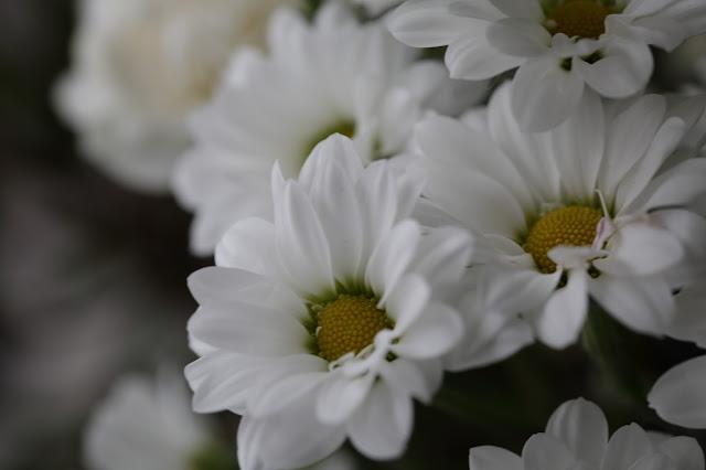 daisy, #kukkailottelua