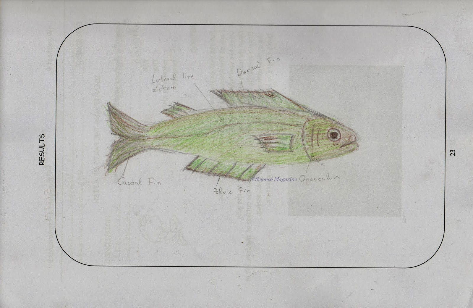 Science Magazine Studying The Anatomy Of A Fish And