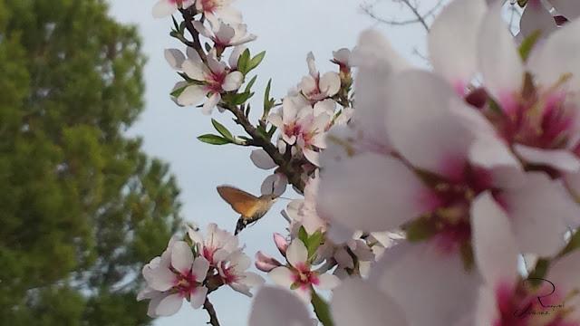 polinizacion-almendros.flor