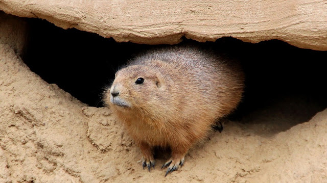 Image: Groundhog coming out of his cave, by  ID 9551453 on Pixabay