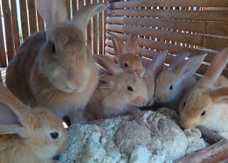 harga kelinci pedaging,pakan kelinci pedaging,jenis kelinci pedaging,penjualan kelinci pedaging,kelinci pedaging sukoharjo,budidaya kelinci di tulungagung,peternak kelinci pedaging peternakan,