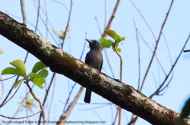 purple-winged roller in north sulawesi