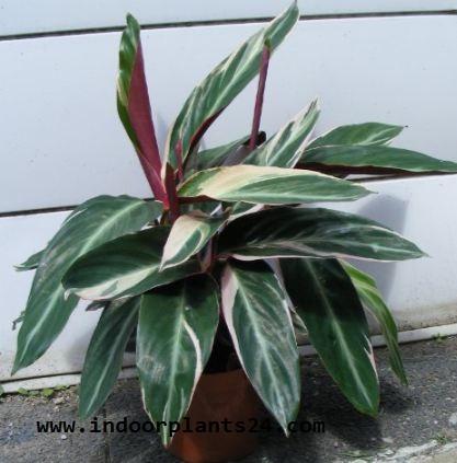 Ctenanthe Oppenheimiana Tricolor Marantaceae