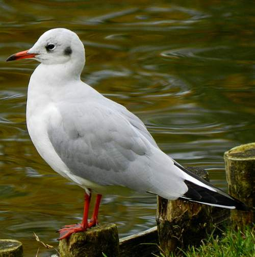 Birds of India - Photo of Black-headed gull - Chroicocephalus ridibundus