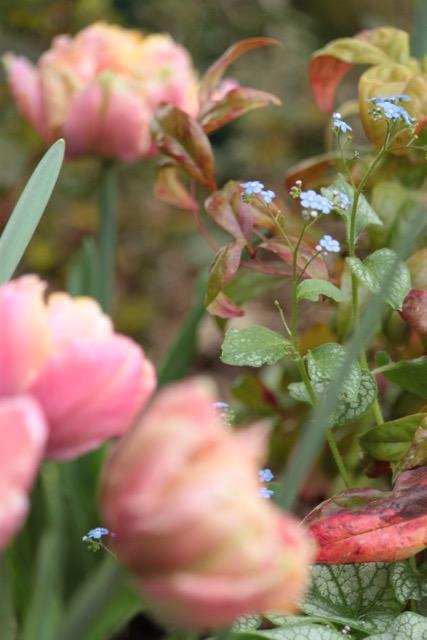 Association brunnera Jack Frost, Nandina Fire Power et Tulipe pink star