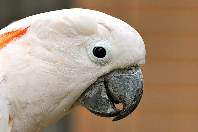 Salmon crested Cockatoos or Moluccan Cockatoos - Unknown Facts