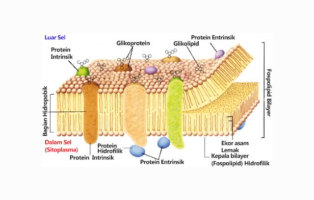 Fosfolipid, Protein, Karbohidran, Kolesterol