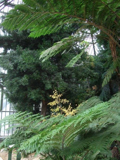 A large Podocarpus salignus at the back