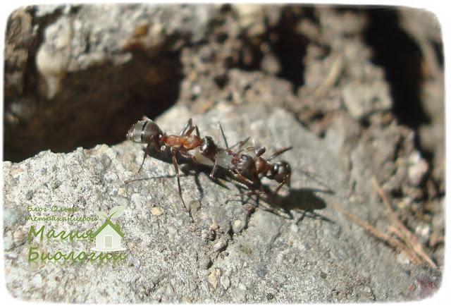 мирмекохория-мирмекофилия-муравьи-семена
