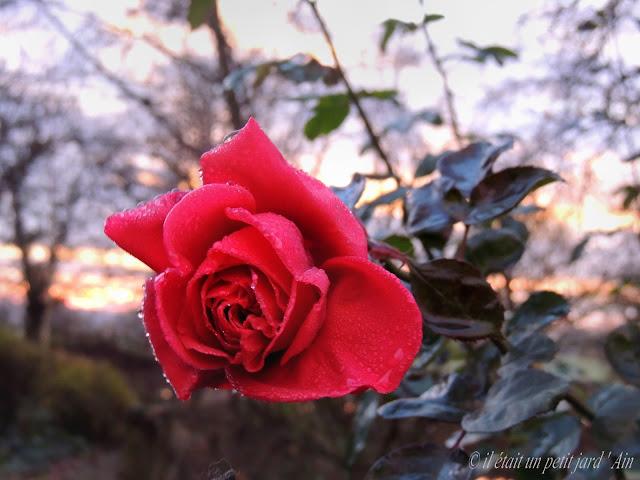 rosier rose bengal line renaud