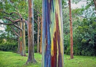 Jual bibit pohon eucalyptus rainbow