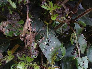 Viburnum damage to foliage Green Fingered Blog