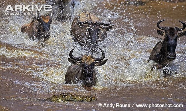 wildebeest and crocodrile