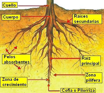 raiz parte de la planta